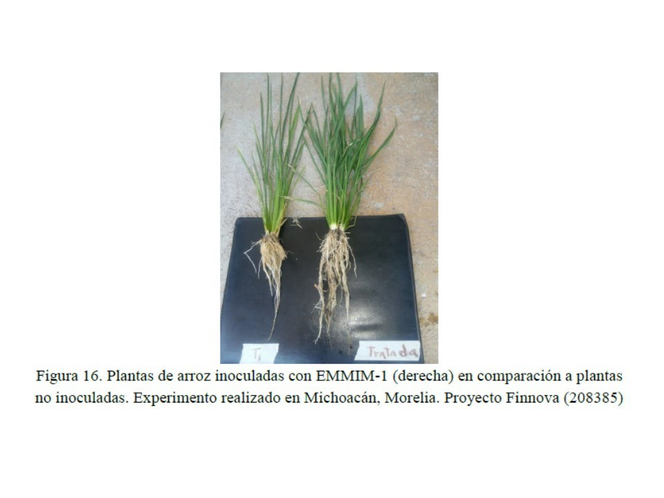 BACTERIAL FORMULATION FOR PLANT GROWTH.