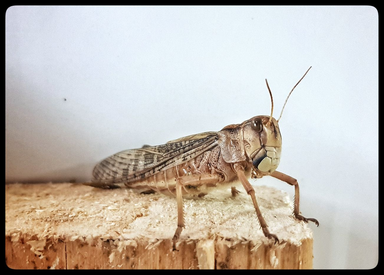 Grasshopper protein based healthy products