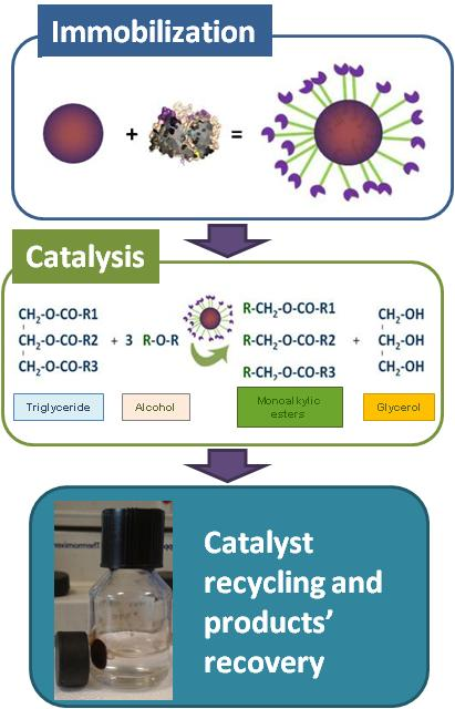 Use of immobilized enzymes in the synthesis of biodiesel