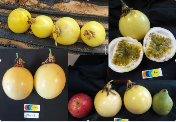 YUKIS ('280-7') PASSION FRUIT CULTIVAR – JUICY, YELLOW-PEELED AND 1.5X BIGGER